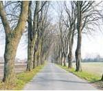 Die Linden in der Weißenbergstraße in Driftsethe müssen wahrscheinlich wegen fehlender Standsicherheit gefällt werden. Foto: Luise Bär