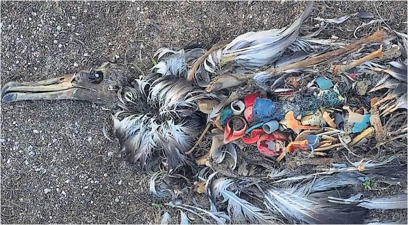Unser Abfall bringt den Tod: Ein verendeter Vogel mit Plastikstücken im Magen. Gegen den Müll im Meer kämpft der Naturschutzbund (NABU).