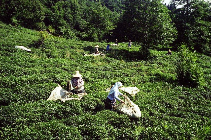 Die meisten Dorfbewohner leben vom Teeanbau. Foto: Pandora Film/ Corazon international