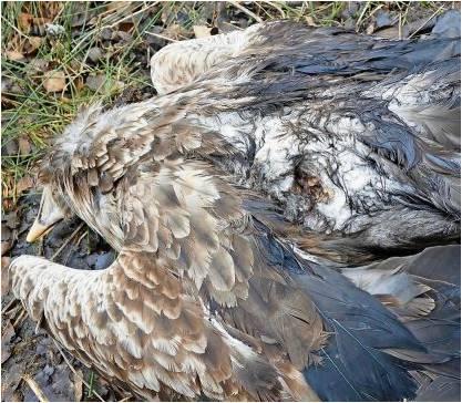 Der Einschuss bei dem Seeadler ist deutlich zu sehen. Das Tier wird jetzt zur weiteren Untersuchung zum Leibniz-Institut für Zoo- und Wildtierforschung nach Berlin gebracht. Foto Neumann