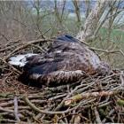Seit Jahren nisten Seeadlerpaare im Ostemündungsgebiet. Am Freitag wurde dieses erwachsene Weibchen tot im Nest aufgefunden. Es war von einem Unbekannten erschossen worden. Foto Neumann