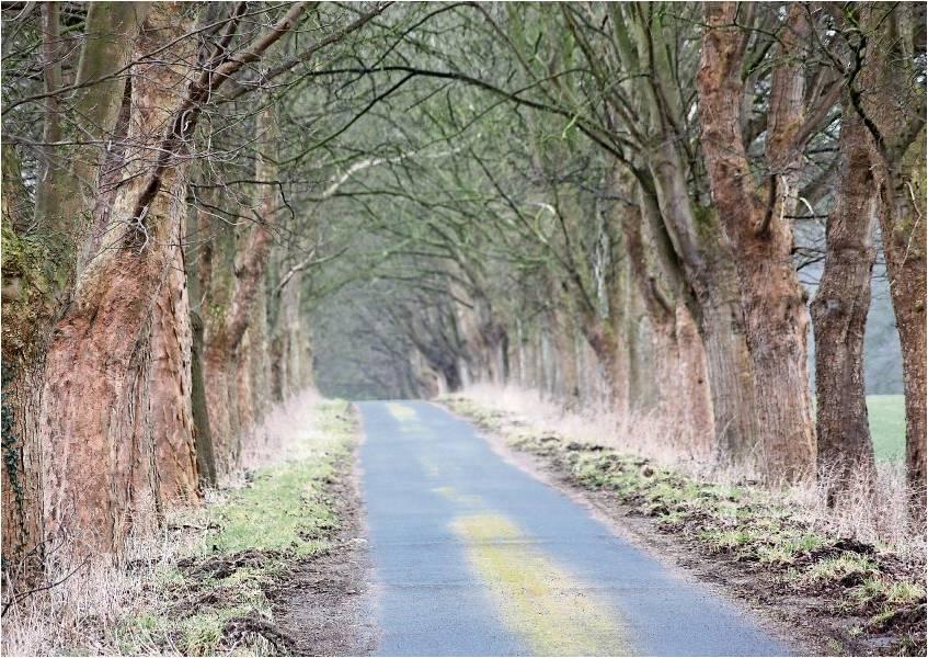 Bergahorne stehen für Besucher Spalier: Die Allee zum Haus Wittenborgh in Driftsethe bildet auf rund 500 Metern Länge einen Tunnelweg. Foto Gehrke